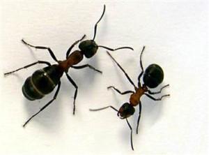sugar-ant