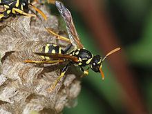 Paper Wasps Photo credit wikipedia