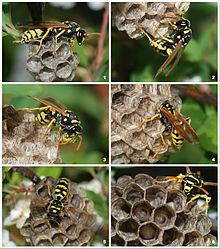 Paper Wasps Photo credit https://en.wikipedia.org/wiki/Paper_wasp