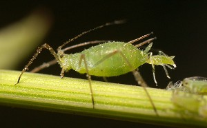 Photo Credit  https://en.wikipedia.org/wiki/Aphid#/media/File:Aphid-giving-birth.jpg
